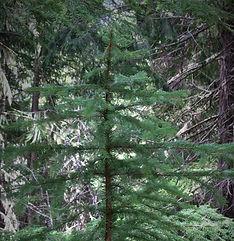 Sitka spruce-crop.jpg