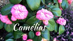 Camélias