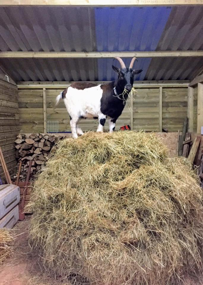 goat on stack of hay