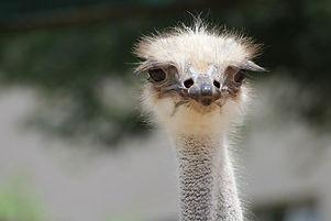 Ostrich in Oudtshoorn