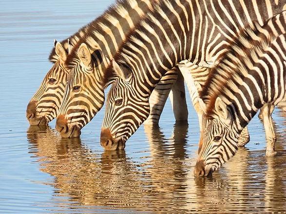 Botswana National Animal: Zebra