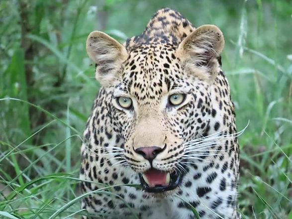Leopard in KNP
