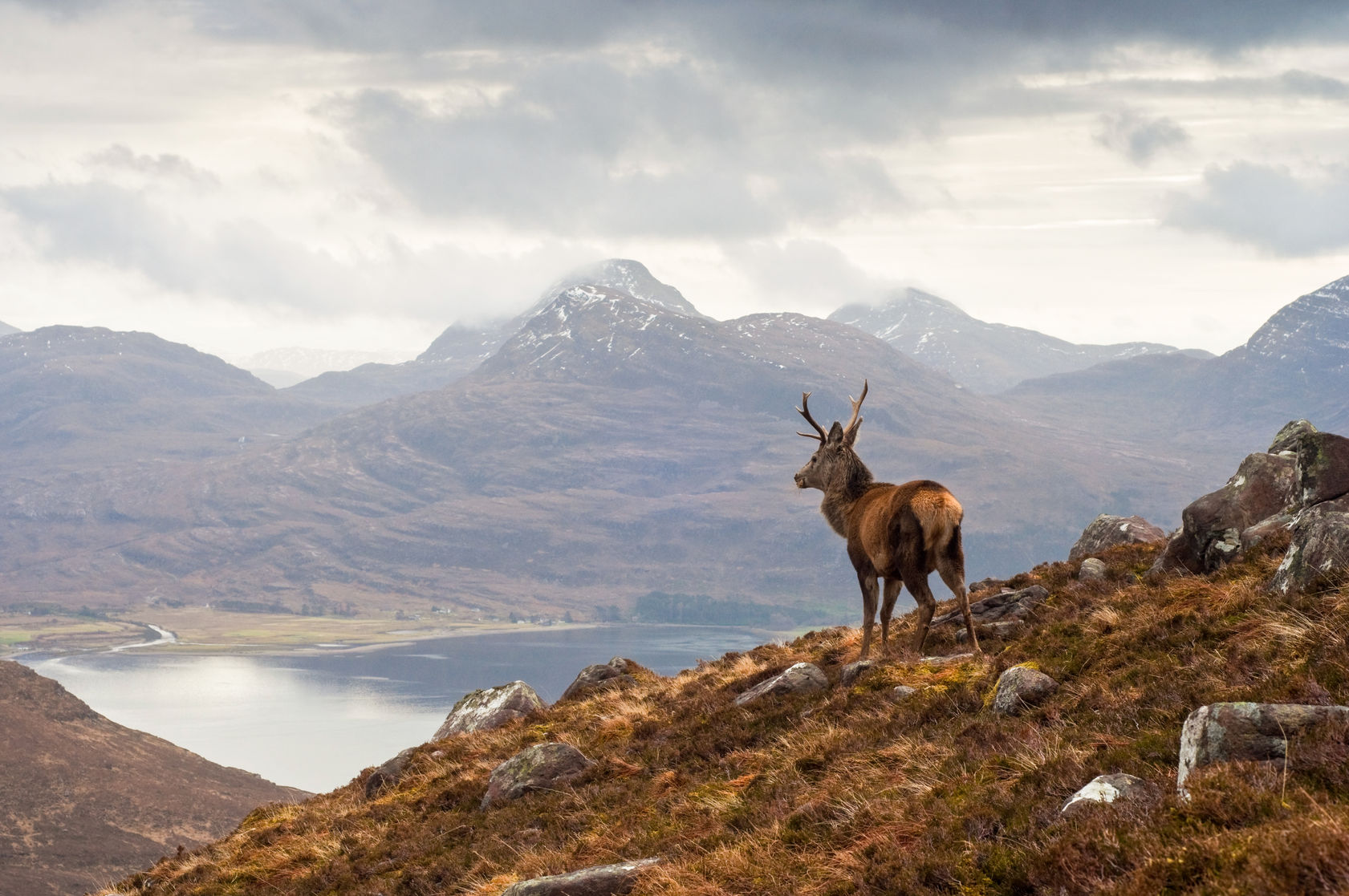 Wild red deer stag Scotland