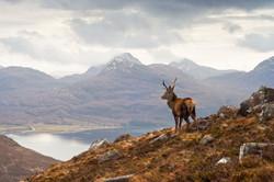Wild red deer stag Scotland