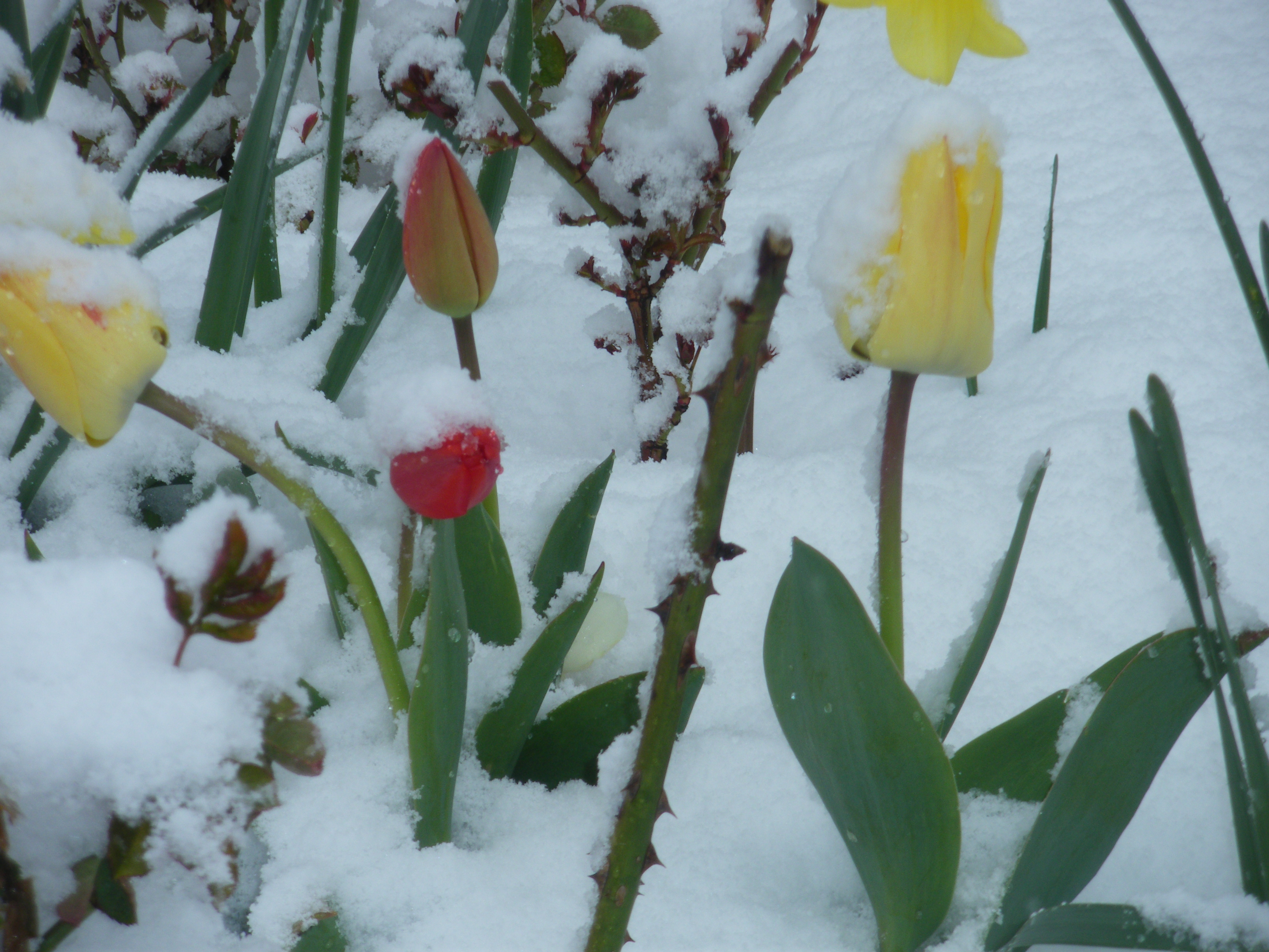 Tulipanes y nieve