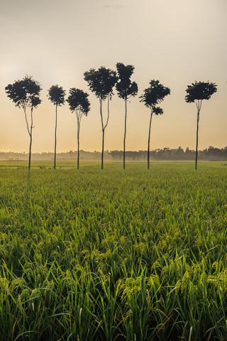 Series of Palm Trees, Laupala