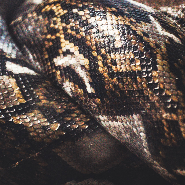 Python Skin 1