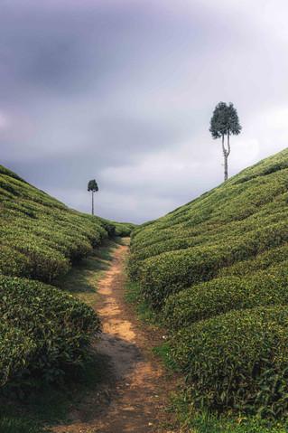 Goapldhara Tea Estate, Mirik
