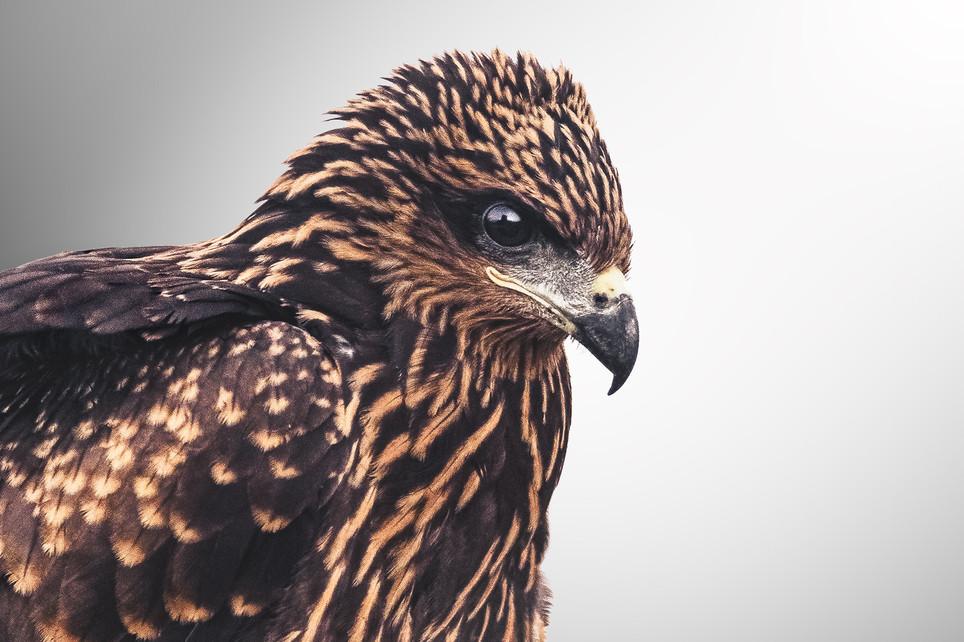 Eagle Full