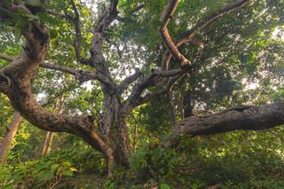 Huge Tree, Bankura