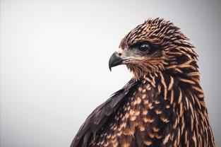 Eagle Full 2