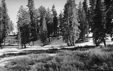 M032 Trees near Huntington Lake, circa 1