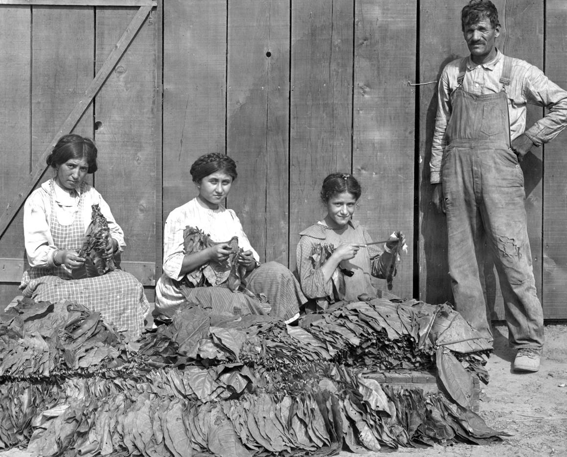 Stringing Tobacco Schishmanian Ranch