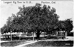 Worlds Largest Fig Tree.jpg
