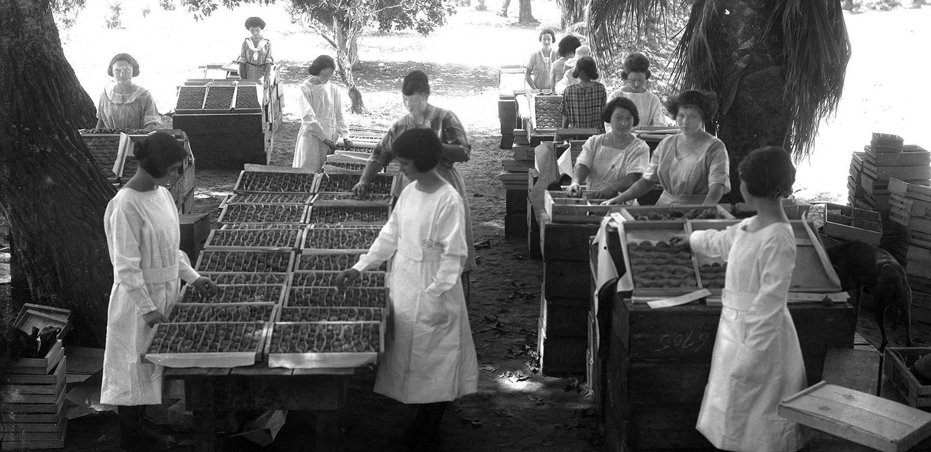 The fig industry in Fresno County was in its infancy in the early 1900s and soon became a vital part of the local economy. To help make ends meet, Italian American women often took jobs canning peaches and packing grapes and figs in brutally hot conditions.