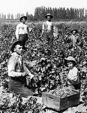4_Armenians picking grapes, circa 1895.j