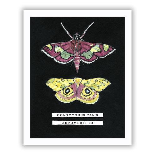 Distinguished Colomychus Moth / Io Moth - Giclee Print