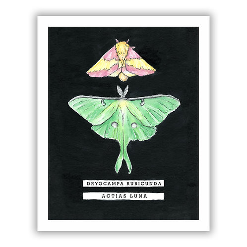 Rosy Maple Moth / Luna Moth - Giclee Print