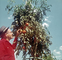 Ron's dad with tomatoes, 1968.