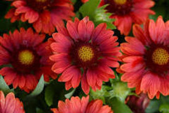 Gaillardia (Blanket Flower) Mesa Red