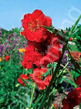 Geum (Grecian Rose) Double Bloody Mary