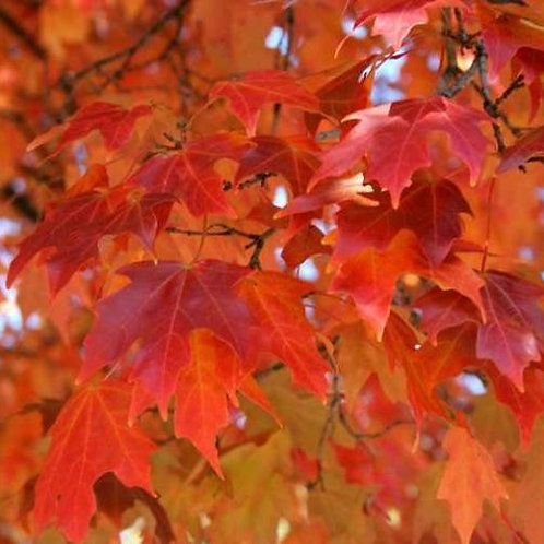 Maple - Fall Fiesta Sugar