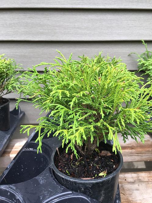 Cypress - Thread Branch 1.5 gal