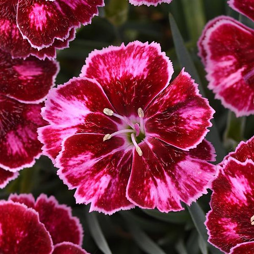 Dianthus - Mountain Frost Series - Ruby Glitter