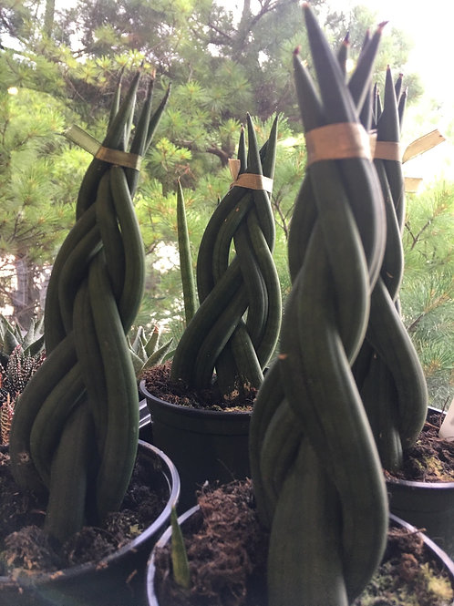 Braided Sansevieria