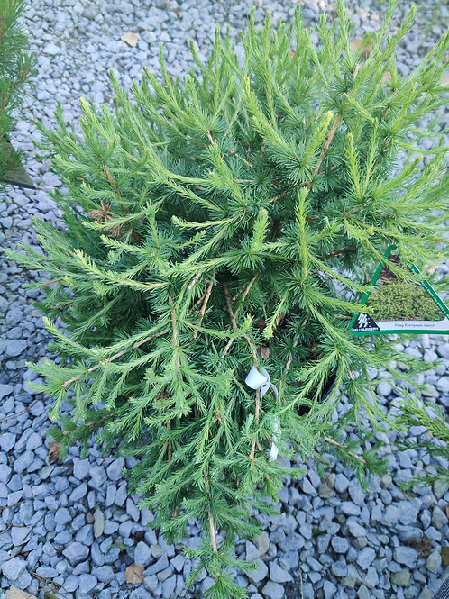Prag European Larch