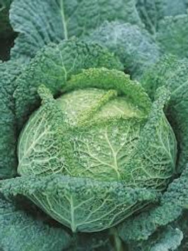 Cabbage - Savoy King - 4""