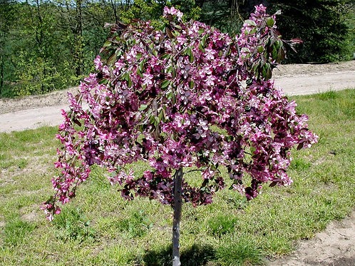 Crabapple - Ruby's Tears - 15 gallon