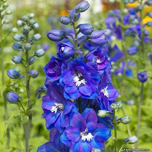 Delphinium Gaurdian Blue