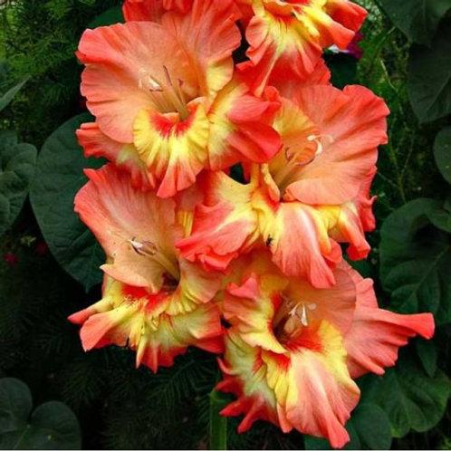 Gladiolus - Ram Bam