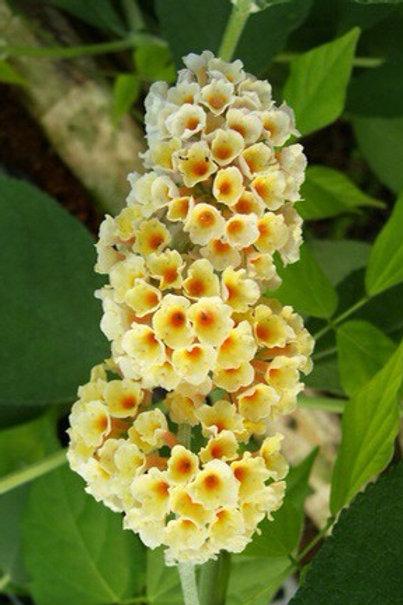 Butterfly Bush (Buddleia) - Golden Glow