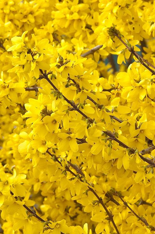 Forsythia Spring Glory