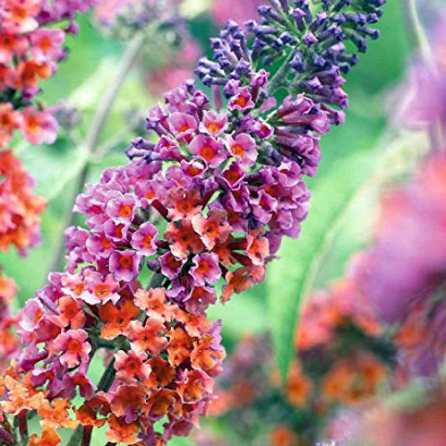 Butterfly Bush (Buddleia) - Bi-Color