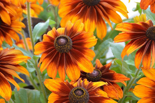 Black Eyed Susan(Rudbeckia) - Chocolate Orange