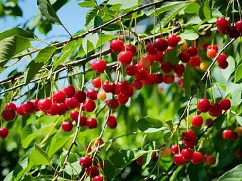 Cherry - North Star