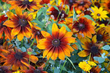 Black Eyed Susan (Rudbeckia) Autumn Colors