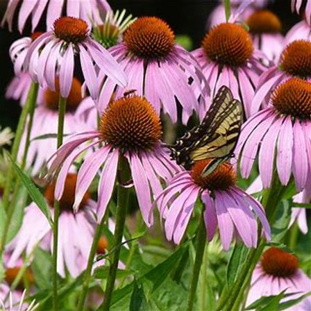 Echinacea (Coneflower) - Purple