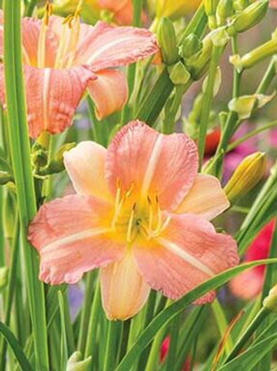 Day Lily - Hemerocallis - Pink Cream
