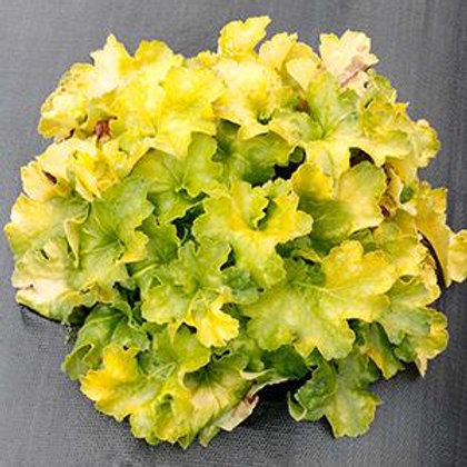 Heuchera (Coral Bells) Lemon Supreme