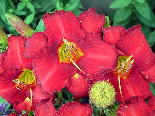 Day Lily - Hemerocallis - Chicago Apache