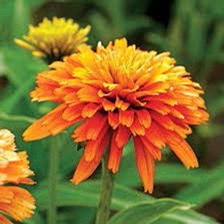 Echinacea (Coneflower) - Marmalade