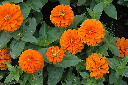 Zinnia - Magellan Orange
