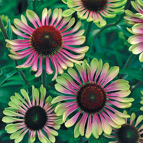 Echinacea (Coneflower) Green Twister