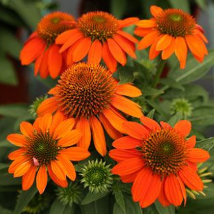 Echinacea (Coneflower) Sombrero Adobe Orange