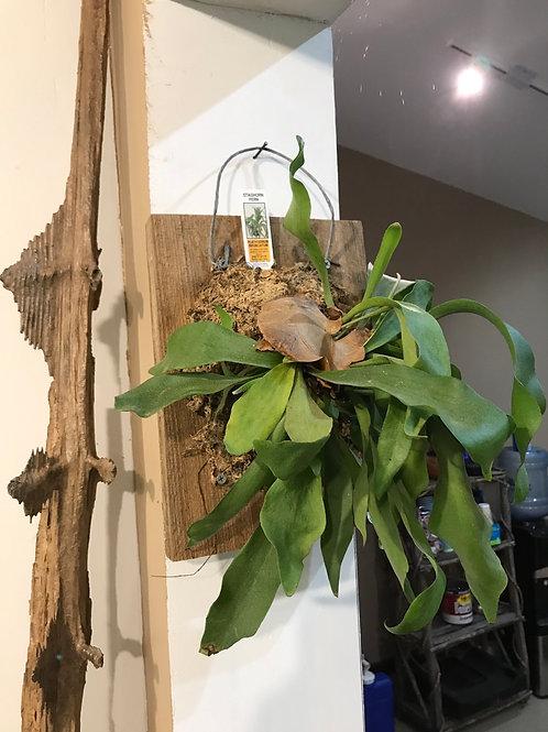 Staghorn fern mounted