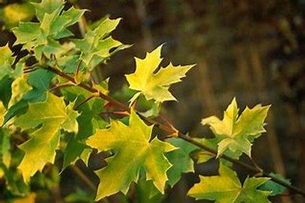 Maple - Princeton Gold
